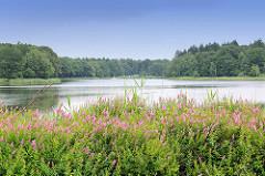 Bredenbeker Teich - Ahrensburg, Metropolregion Hamburg. Blühendes Wildkraut am Ufer; dicht am Wasser stehen Bäume.