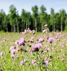 Blühendes Wildkraut - im Hintergrund der Waldrand vom Tangstedter Forst in der Wildstedt-Siedlung, Ortsteil der Gemeinde Tangstedt.