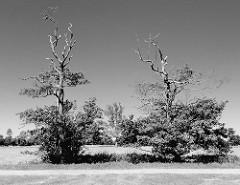 Zwei alleinstehende Bäume mit kahler Spitze an einem Feldweg, Gemeinde Tangstedt (Kreis Stormarn)