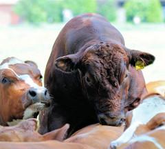 Herde Jungkühe auf der Weide - Fotos aus Wilstedt, Gemeinde Tangstedt.
