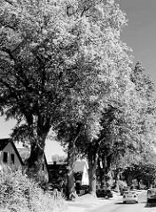 Schwarz-Weiss Motiv, hohe Eichenbäume mit dichtem Laub - Häuser mit Spitzdach; Bilder aus Tangstedt - Kreis Stormarn, Schleswig Holstein.
