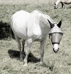 Pferd auf der Koppel in Wulksfelde - Schimmel mit Kopfschutz gegen Fliegen, Bremsen. Fotos aus der Gemeinde Tangstedt - Kreis Stormarn.