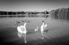 Schwäne und Junges, Enten auf dem Baggersee in Tangstedt - im Hintergrund das Badeufer und Bäume.