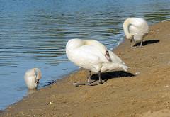 Schwanenpaar und Junges putzen sich in der Morgensonne am Baggersee der Gemeinde Tangstedt.