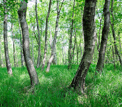 Moorgebiet mit Birken in der Oberalsterniederung - Gemeinde Tangstedt, Kreis Stormarn.