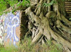 Verschlungene Baumwurzeln - Mauer mit Graffiti; Bilder aus der Gemeinde Tangstedt, Kreis Stormarn.