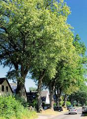 Hohe alte Eichenbäume am Strassenrand in Tangstedt / Stormarn - Einzelhäuser mit Spitzdach im Schatten der Bäume.