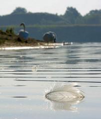 Eine Schwanenfeder treibt auf dem Wasser des Baggersees in Tangstedt - im Hintergrund putzen sich die Schwäne.