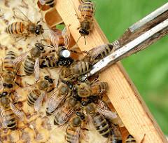Bienen und mit weissem Punkt gekennzeichnete  Bienenkönigin auf einer Wabe.