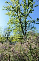 Blühende Heide im Stadtpark Norderstedt.
