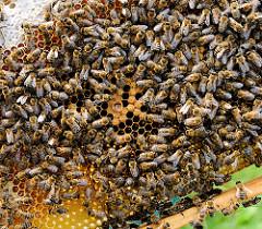 Bienen auf einer Wabe - im Bildzentrum eine Bienenmade in einer  Zelle.