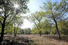 3467Blühende Heide im Stadtpark Norderstedt. Die Herbstsonne scheint durch die Bäume, blauer Himmel.