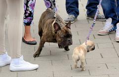 Hundetreffen auf der Hafenpromenade von Kappeln - französche Dogge trifft jungen Mops.