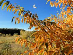 Strauch mit herbstlich gefärbten Blättern, blauer Himmel - Fotos aus der Gemeinde Tangstedt, Kreis Stormarn.