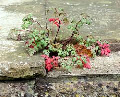 Pflanze mit Herbstfärbung wächst in einer Mauerritze - verlassenes Grundstück in Großhansdorf.