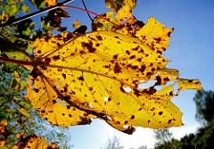Gelbes Herbstblatt mit braunen Flecken in der Sonne - blauer Himmel. Herbstfotos vom Tangstedter Forst.