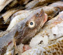 Fischereihafen an der Ostsee in Łeba, Polen; Fischfang - gefangener  Fisch liegt in einer Kiste auf Eis.