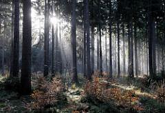 Morgenlicht im Tangstedter Forst - Sonnenstrahlen scheinen durch die Baumstämme - Sonne im Morgendunst, Morgennebel.