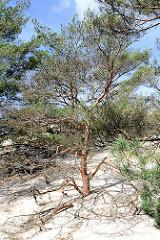 Bäume werden von einer Wanderdüne vom Sand verschüttet - Bilder aus dem Slowinzischen Nationalpark bei Leba, Polen.