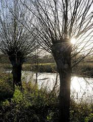 Gegenlichtaufnahme durch die Zweige einer Kopfweide am Ufer der Trave in Bad Segeberg.