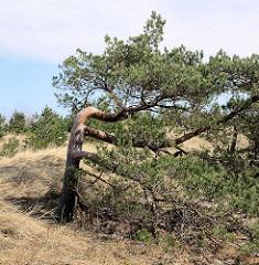 Vom Wind verbogene Kiefer  an der polnischen Ostseeküste  bei Łeba.