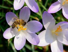 Krokusblüte im Frühling - Frühlingswiese im Stadtpark Hamburg; eine Honigbiene am Staubblatt eines Krokusses / Blütenstaub Pollen an den Beinen.
