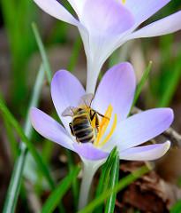 Honigbiene beim Sammeln von Pollen an einer Krokusblüte.