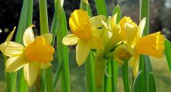 Frühlingsblumen  / Blüten von Narzissen, Osterglocken in der Frühlingssonne.