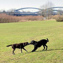 Hundespielwiese im Elbpark Entenwerder - zwei Hunde spielen auf der Grünfläche - im Hintergrund die Stahlkonstruktion der Norderelbbrücke.
