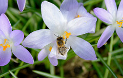 Krokusblüte im Frühling - Frühlingswiese im Stadtpark Hamburg; eine Honigbiene am Staubblatt vom Krokus / Frühblüher.