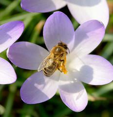 Frühling in Hamburg! Die ersten Bienen fliegen in der Frühlinssonne; Biene im Blütenkelch von einem Krokus.