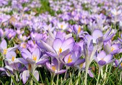 Krokusblüten in der Frühlingssonne im Hamburger Stadtpark / Wiese mit Krokussen, Krokuswiese.