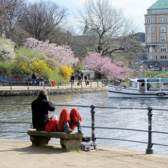 Frühling in Hamburg - blühende Bäume, Japanische Zierkirschen und Forsythien an der Binnenalster. Das Fahrgastschiff AUE fährt Richtung Aussenalster.