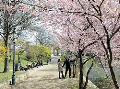 Frühling in Hamburg - blühende Bäume, Japanische Zierkirschen an der Binnenalster.