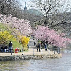Frühling in Hamburg - blühende Bäume, Japanische Zierkirschen und Forsythien an der Binnenalster.