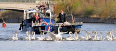 Frühling in Hamburg - die Alsterschwäne werden vom Winterquartier am Eppendorfer Mühlenteich auf die Alster gebracht.