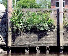 Alte Kaimauer mit Streichdalben aus Holz - Ziegelmauer - Grünpflanzen wachsen in den Mauerritzen - Bilder aus dem Hafen von Itzehoe.