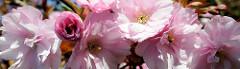 Blüte der japanischen Zierkirsche im Stadtpark Hamburg Winterhude.