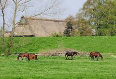 Pferde auf einer Wiese hinter dem Deich - Bauernhaus mit Reetdach, geschützt am Deich.