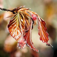 Frühling im Hamburger Stadtpark - die Blutbuchen (Fagus sylvatica purpurea) am Pinguinbrunnen treiben junge Blätter, männliche Blüten.