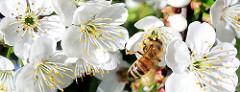 Kirschblüte im Frühling - Biene im weissen Blütenkelch eines Kirschbaums.