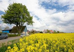 Dorfstrasse in Seester - historisches Bauernhaus mit Reet gedeckt, blaue Holzfassade - blühender Raps, gelbes Feld - blauer Himmel, weisse Wolken.