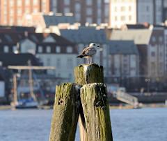 Alter Holzdalben mit Möwe an der Unterwarnow im Stadthafen der Hansestadt Rostock.