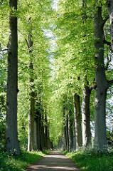 Lindenallee im Eutiner Schlossgarten.