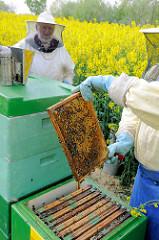 Der Imker hält die Honigwabe in der Hand - Blick in einen Bienenstock; Rapsblüte in Seestermühe.