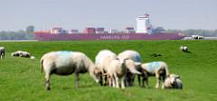 Schafe grasen auf dem Elbdeich in Neuendorf - auf der Elbe ein Containerfrachter der Hamburg Süd Reeder in Fahrt Richtung Hamburger Hafen.