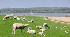 Mündung der Pinnau in die Elbe - Pagendorfer Niederelbe. Segelboot vor der Elbinsel Pagensand - Schafe und Lämmer auf dem Deich.