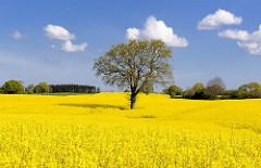 Einzelner Baum in einem blühendem Rapsfeld - blauer Himmel, weisse Wolken.