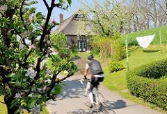 Blühender Apfelbaum an der Strasse - Radfahrer, Rennrad am Deich; Wäsche zum Trocknen auf der Leine - Reetdachhaus in Haselau, Kreis Pinneberg.