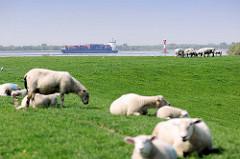 Elbdeich von Neuendorf - Schafe auf dem Deich; im Hintergrund ein Containerfeeder auf der Elbe.